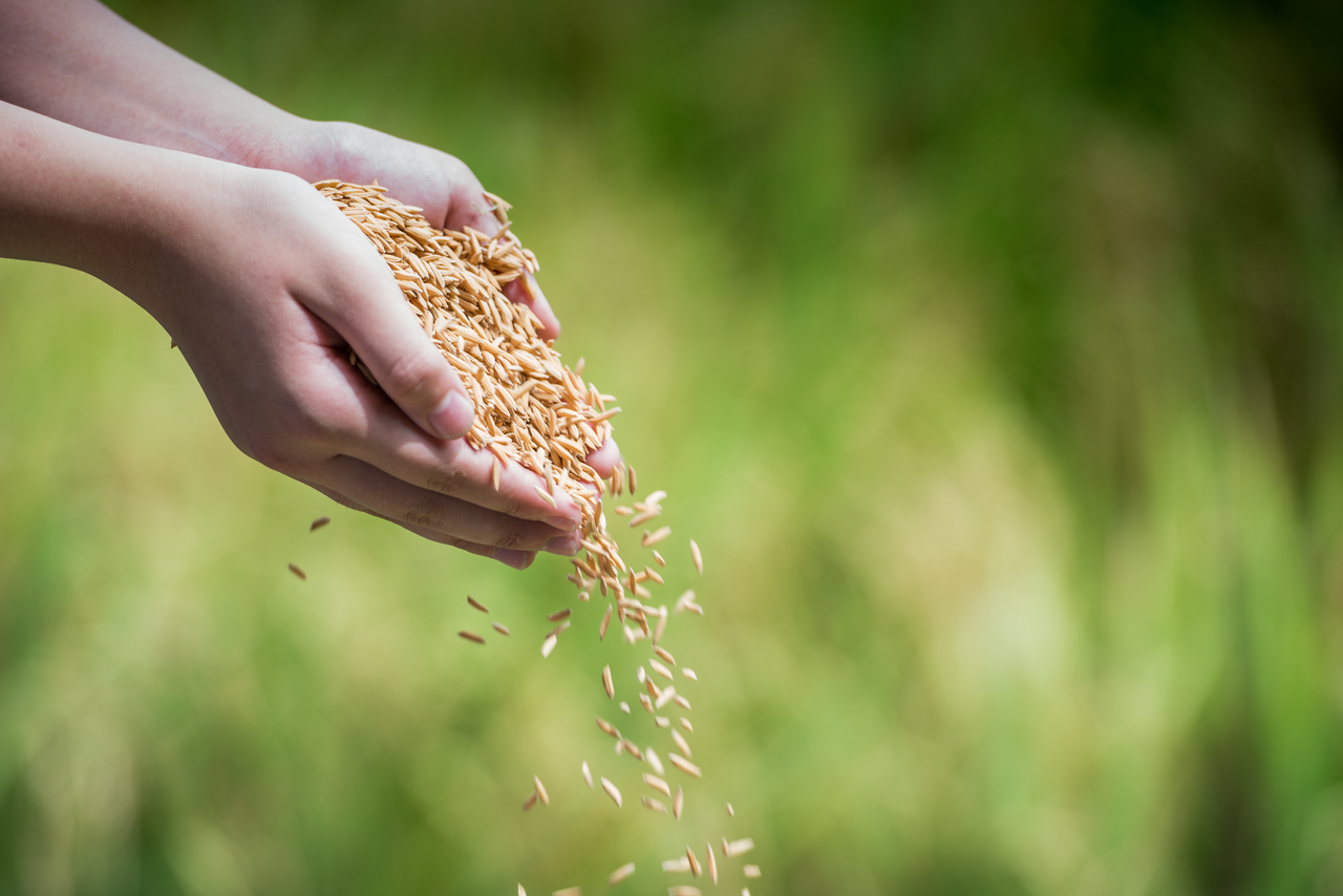 Hands holding raw rice crops